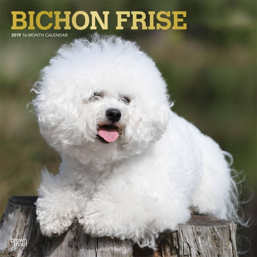 Bichon Frise Kalender 2019 Browntrout