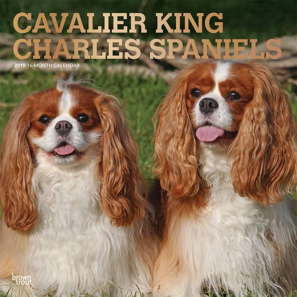 Cavalier King Charles Spaniel Kalender 2019