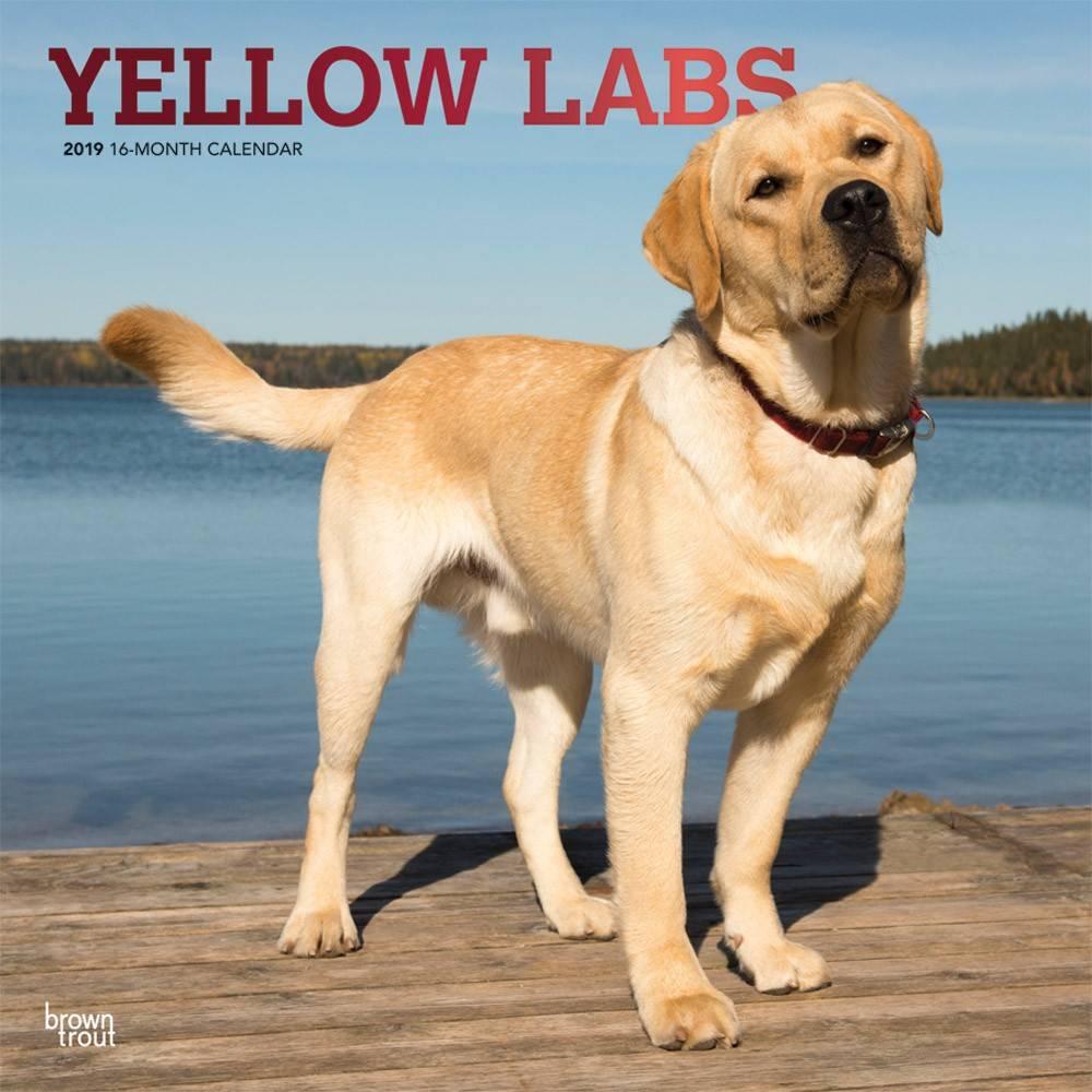 Labrador Retriever Blond Kalender 2019