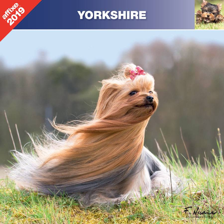 Yorkshire Terrier Kalender 2019