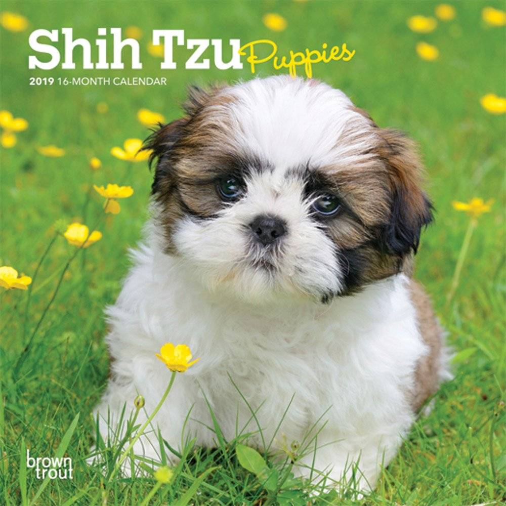 Shih Tzu Puppies Kalender 2019 Browntrout