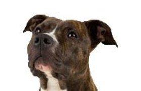 Amerikaanse Staffordshire Terrier