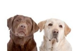 Labrador Retriever Mixed