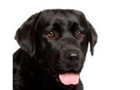 Labrador Retriever Zwart