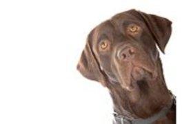 Labrador Retriever Bruin