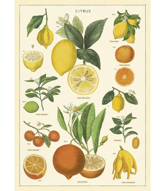 Cavallini & Co Poster - Citrus