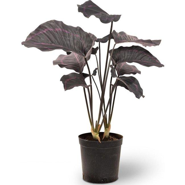 Fleur ami CALATHEA Kunstpflanze, 63,5 cm
