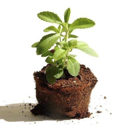 Steviahouse Stevia-Samen im Beutel - ca. 20 Stück