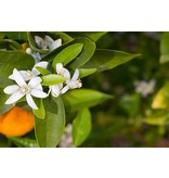 Alepeo Flüssigseife - Orange - 350 ml