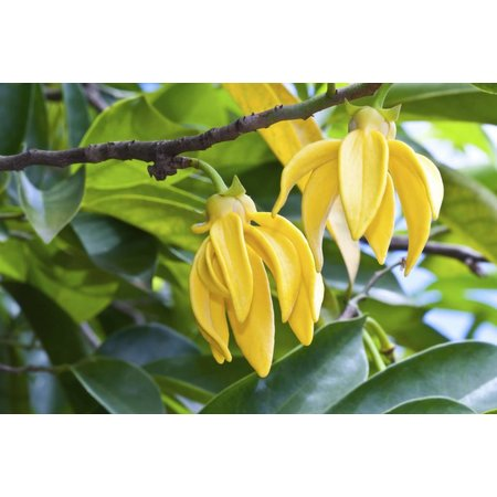 Aromed Ylang ylang olie 10 ml