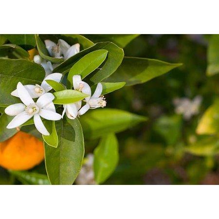 Aromed Sinaasappel essentiële olie 10 ml