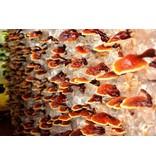 Nutrikraft Reishi paddenstoel poeder bio- 100g