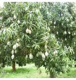 Nutrikraft Mango-Granulat - bio - 125g