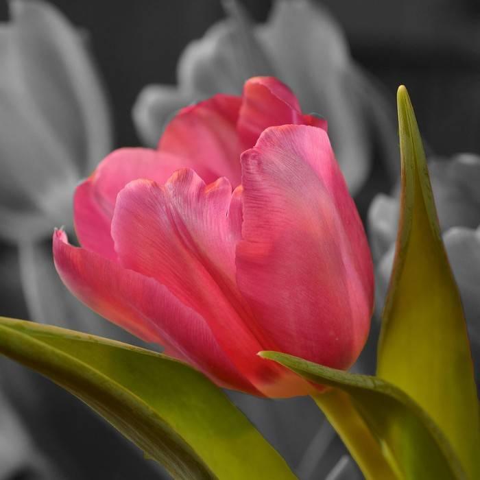 Tulpe 0