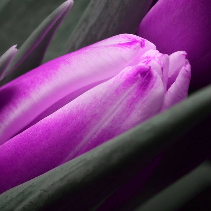 Tulpe 8