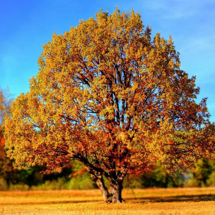 Olivenbaum 1