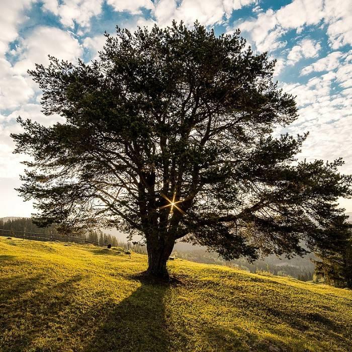 Olivenbaum 3