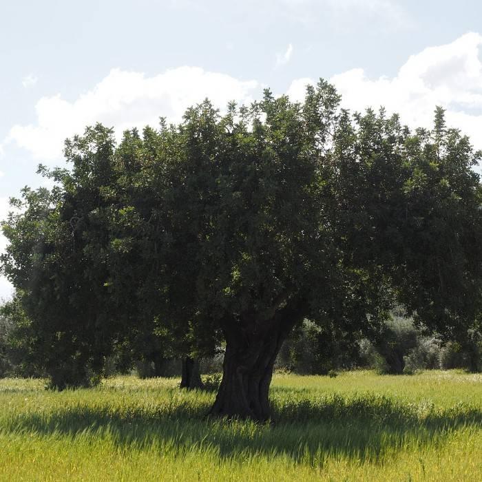Olivenbaum 5