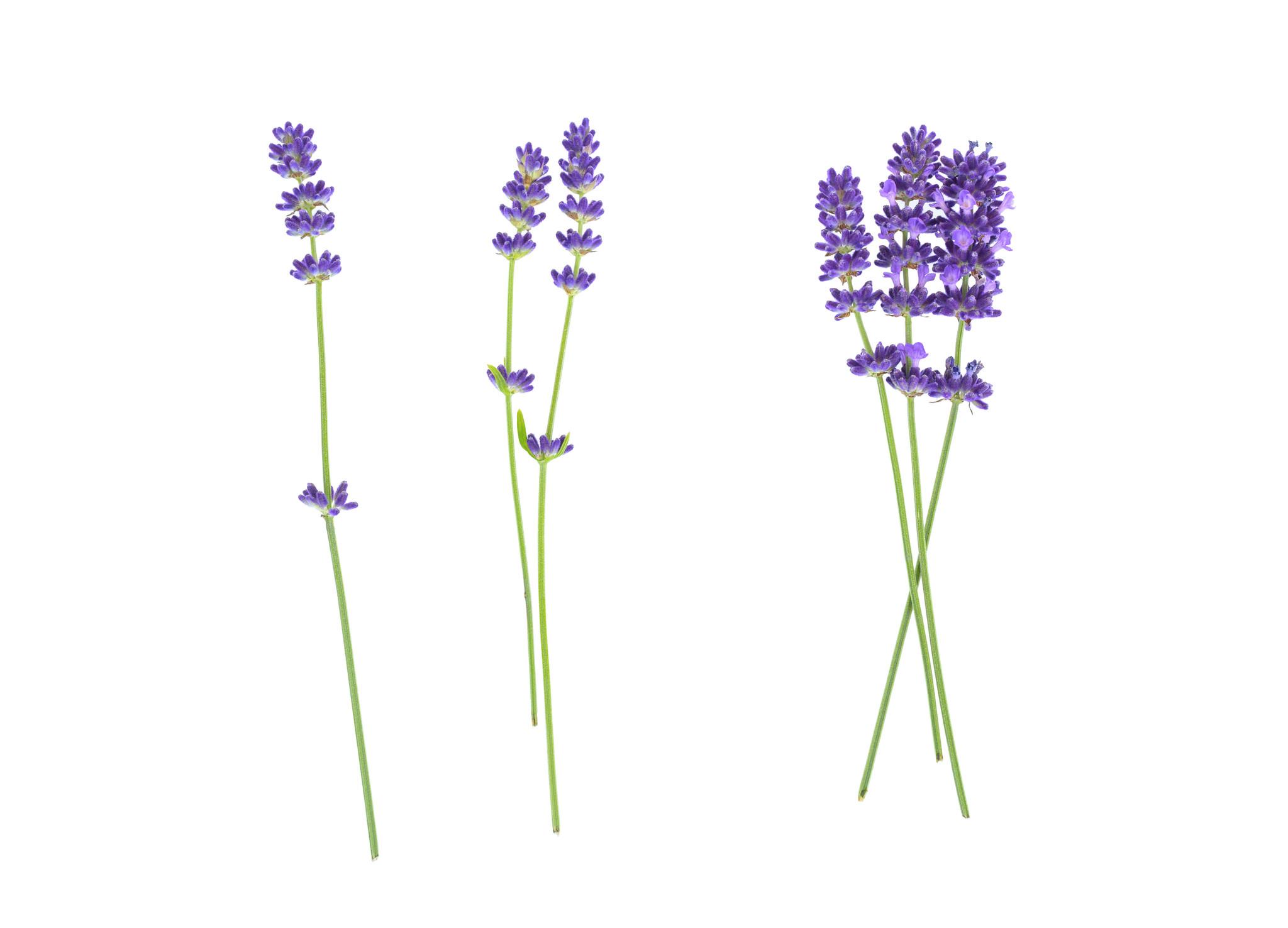 Kevin Murphy Lavendel