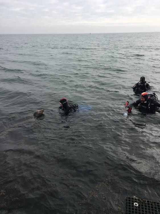 zeehond met duikers in Zeeland