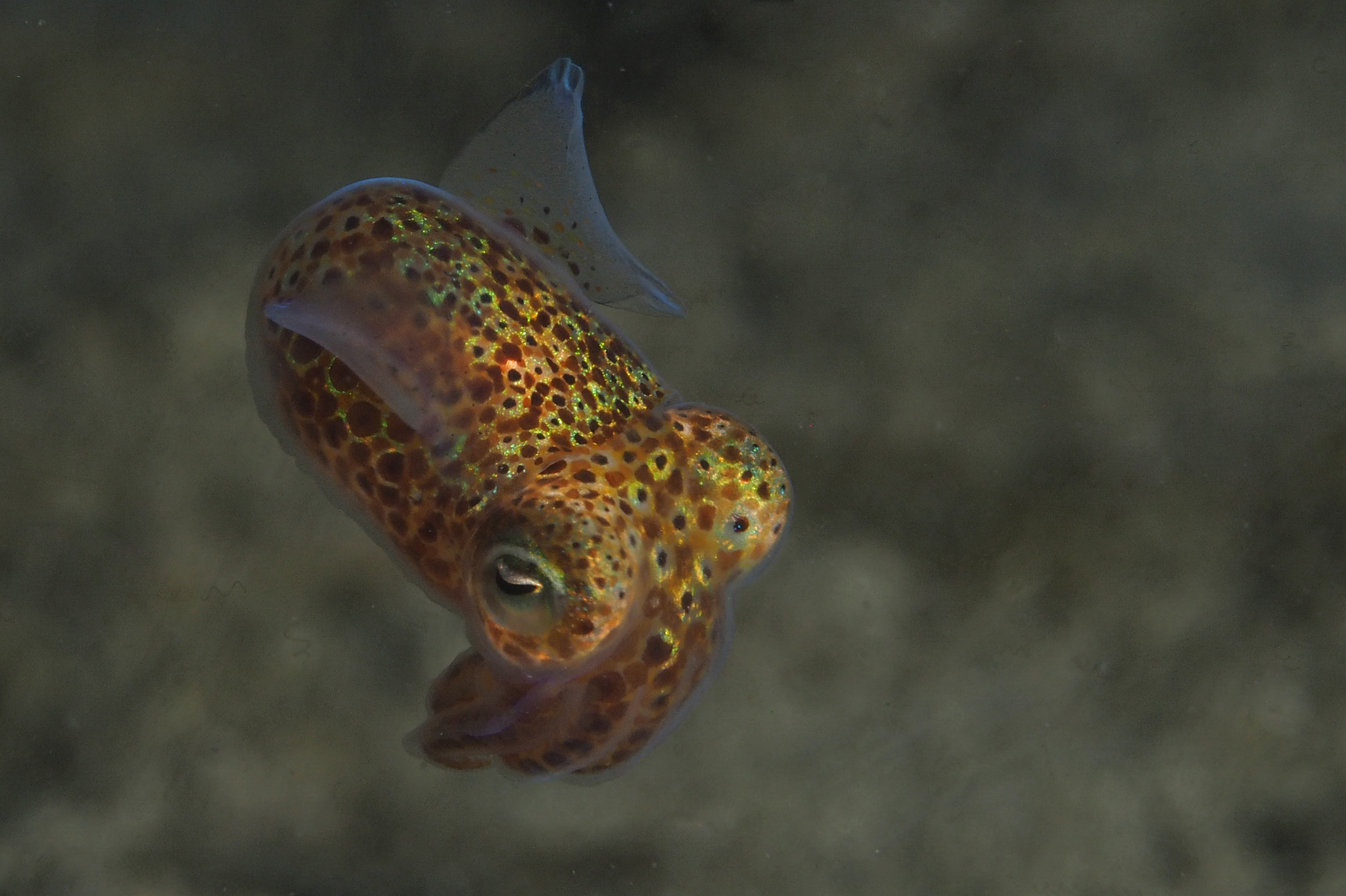 Sepiola. Foto: Marloes Otten