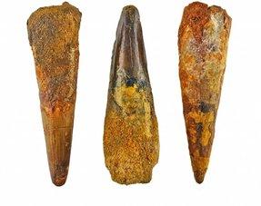Spinosaur teeth
