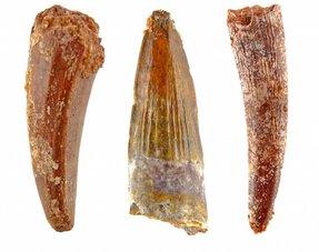 Pterosaur teeth