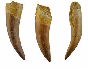 Plesiosaurus teeth
