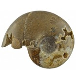 Beautiful fossil ammonite from Morocco