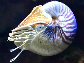 De Nautilus is de nog levende verwant van de Ammoniet