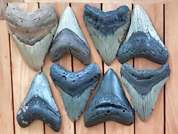 Verschillende kleuren Megalodon tanden.