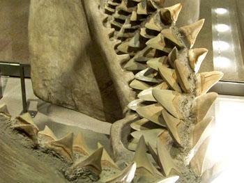 Megalodon kaak met rijen tanden