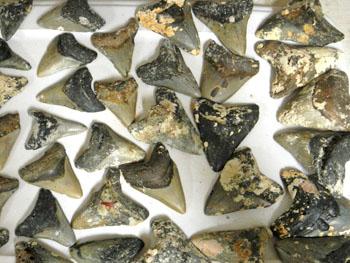Megalodon tanden voor de schoonmaak