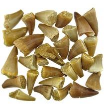 30 mosasaurus teeth B quality