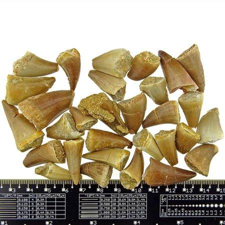Echte dinosaurs tandjes 30 stuks B kwaliteit