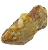 Molar of the extinct Cave Bear