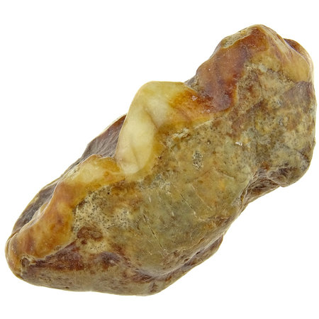 Molar of the extinct Cave Bear