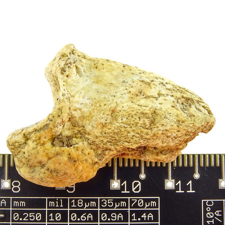 Claw of the extinct Cave Bear