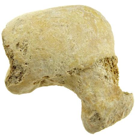 Bone of the extinct Cave Bear