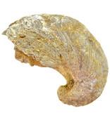 Fossiele oester – Gryphaea