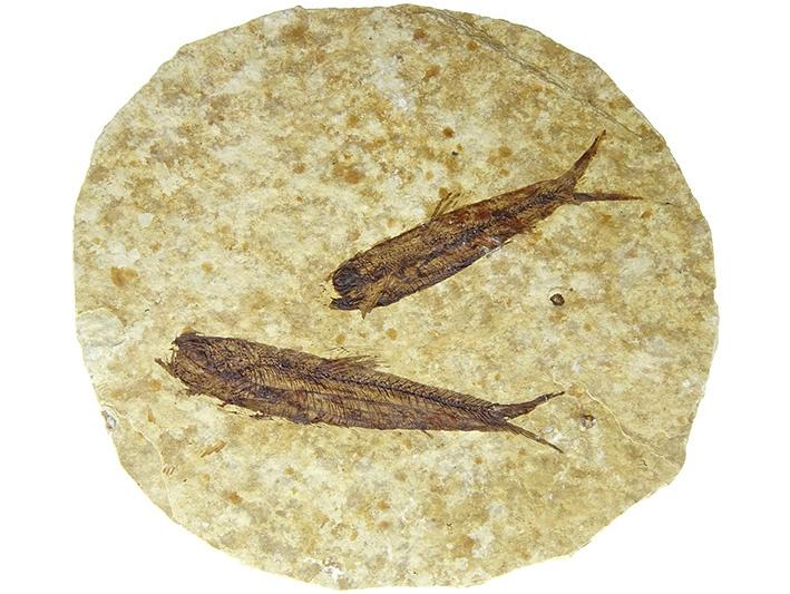 Fossiele visssen