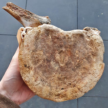 Mammoth lumbar vertebra