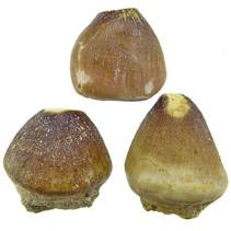 Globidens tand, 3 stuks