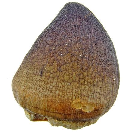 Bolvormige tand van de globidens mosasaurus