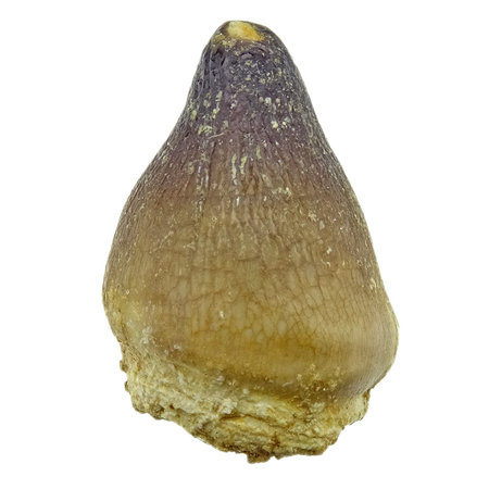 Spherical tooth of the globidens mosasaur