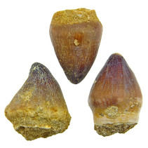 Globidens tooth. 3 pieces
