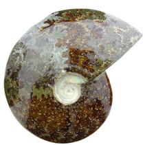 Ammonite 15 cm