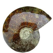 Ammonite 17 cm