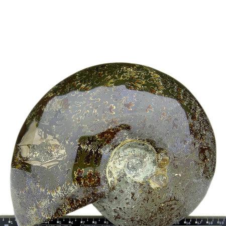 Ammonite, top quality