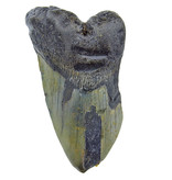 Partial fossil tooth of the Megalodon 12 cm